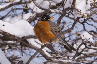 Photo: Robin in lilac bush after snow fall - March 27, 2009