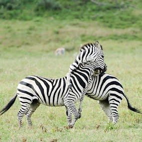 Two playful zebras by Ira Ivanova - Animals Horses ( nobody, fight, kenya, travel, equus, nature, safari, action, bush, motion, black, wild, white, fun, stripes, mammal, stripe, horizontal, outdoors, reserve, active, fighting, zebra, natural, herbivore, playful, african, behavior, calf, one, wildlife, looking, playing, burchell, plains, striped, baby, africa, hair, animal, park, play, young, two, wilderness, pattern, outdoor, pwcmovinganimals, south, group, standing )