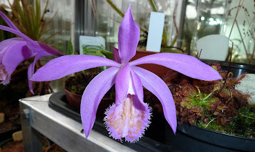 Photo: Pleione formosana (Orchidee / Orchid)