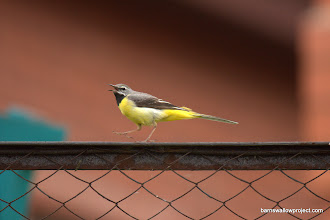 Photo: Georgy's Photo: A gray (somehow) wagtail