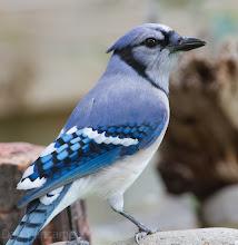 Photo: Blue Jay