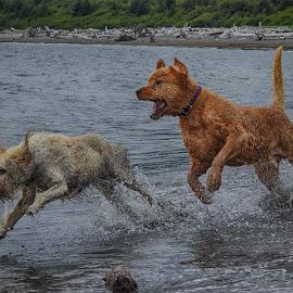 by Brenda Baird - Animals - Dogs Running
