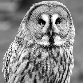 Cross-eyed owl by Gérard CHATENET - Black & White Animals