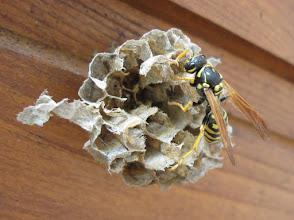 Photo: Ein letztes Mal inspiziert die Königin ihr leeres Nest. Alle Larven sind verschwunden. Aufnahmedatum 26. Juli 2015