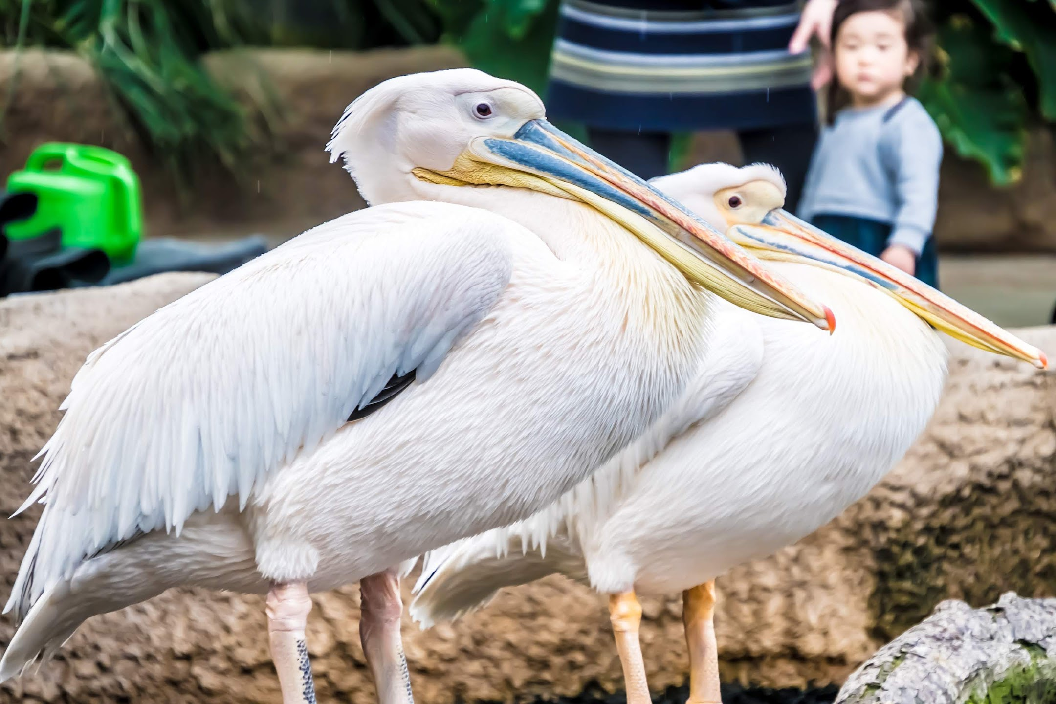 Kobe Animal Kingdom Pelican2