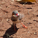 Zebra Finch (male)