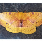 Yellow Monkey Moth