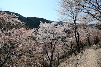 奥千本の桜2