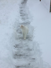 Photo: White on White...  Ever try to photograph a white cat on snow.... with a little auto-focus camera...? ----------------------------------------------------- ... It's #Caturday ... A little kitty fun before +Christophe Friedli & +Lee Daniels take their well deserved breaks! Thanks for all you both do!