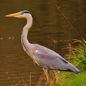 Grey heron by Suzanna Nagy - Animals Birds