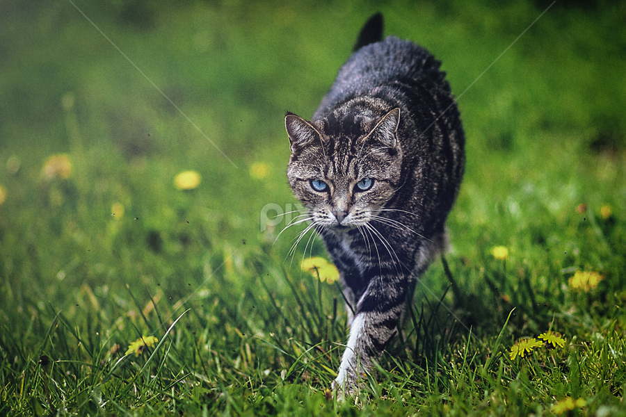 Max walking by Eduard Art - Animals - Cats Playing