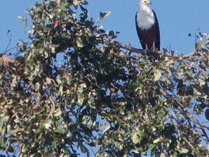 Photo: Fish eagle