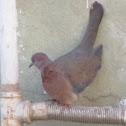 Palm Dove يمام مصري