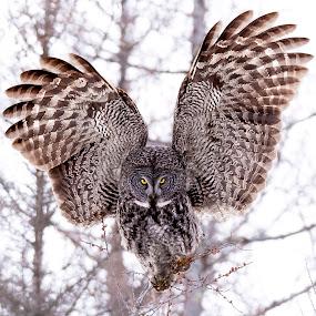 Great Gray Owl by Justin Cale - Animals Birds ( bird, birds of prey, minnesota, wildlife photography, nature, great gray owl, owl, wildlife, nature photography, birds, owls, sax zim bog, birding )