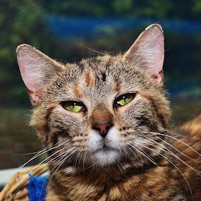 Kendra by Michael Cowan - Animals - Cats Portraits