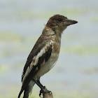 Pied Butcherbird (Imature)