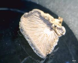 Photo: Schizophyllum commune -- underside