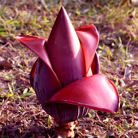 BANANA FLOWER by SANGEETA MENA  - Nature Up Close Other plants