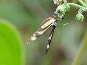 Photo: SALAPIA CLEARWING--ithomia salapia--EL CAPRICHO TRACK, NAPO