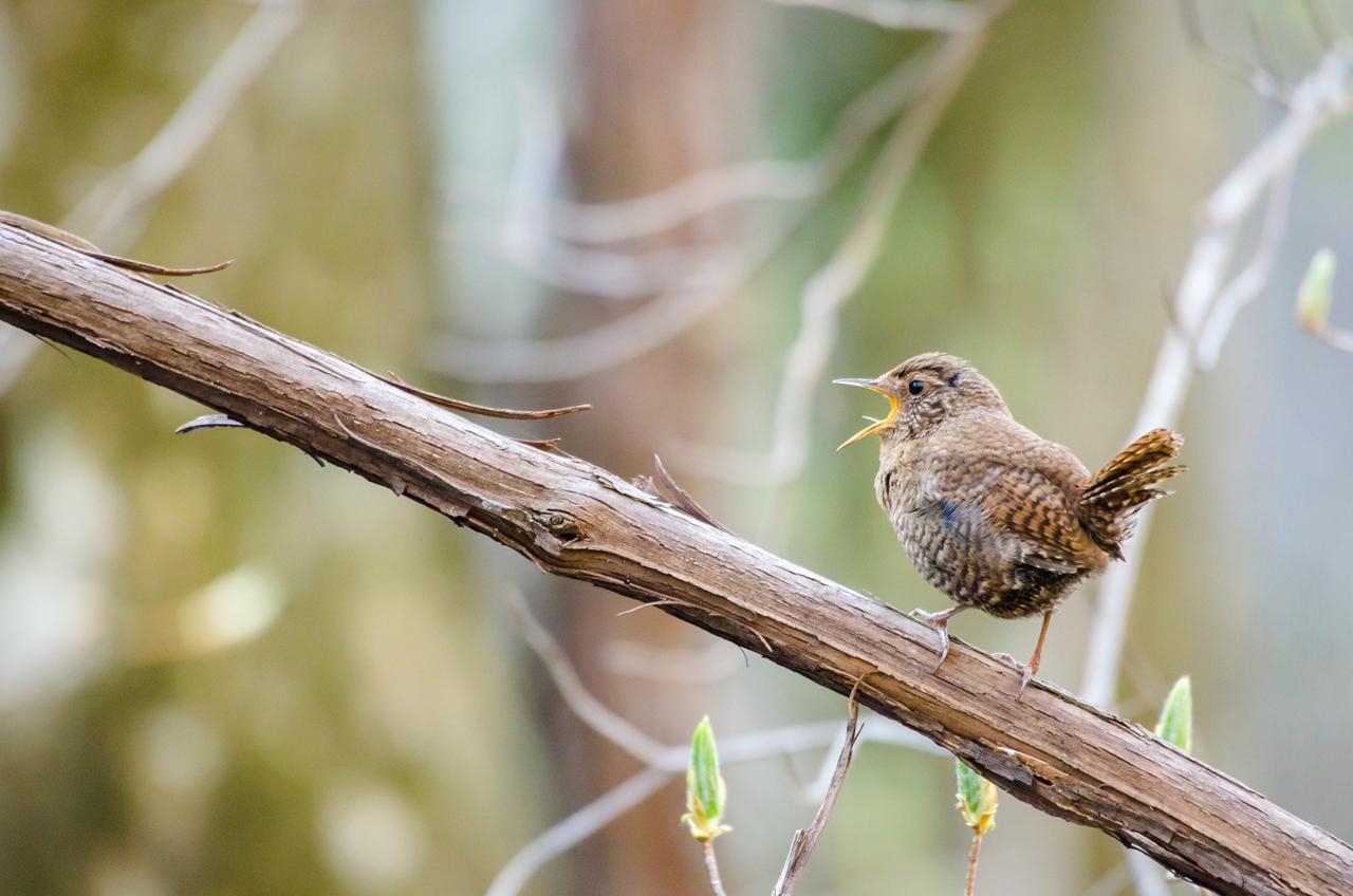 Photo: 精いっぱいに歌う Singing to the fullest.  Photo of Eurasian Wren. 渓谷に響き渡る声 小さな小さな体を震わせて 芽吹きの喜びを伝えていく 精いっぱいな歌声  (ミソサザイ) #birdphotography #birds #cooljapan #365cooljapanmay Nikon D7000 APO 50-500mm F4.5-6.3 DG OS HSM [ Day99, August 19th ]  ☆22日(金)から開催される三人展、 その出展候補としていて 最終的に候補から外すことにしたものから 未公開のものを御紹介しています。  -------------------------------------------- 【おしらせ】 マルマンさんのFBページにて週末より開催される写真展 「Google+三人写真展2014」 について紹介していただきました☆  今回多くに恵まれて、 写真展で展示する作品にはマルマンさんの インフィニティのバライタという高級紙を 協賛していただいています! 自分もプリントの際に見させていただいていますが、 柔らかな発色がとても綺麗で、 自分の描く色合いを思った以上に 爽やかに再現してくれました^^ ぜひこの機会にプリントされ完成された作品を 見ていただけたらと思います。  「マルマンさんのFBページ」 < goo.gl/SJ32cc > 「バライタ・フォトグラフィック」 < http://goo.gl/RJUzaj >   ☆写真展について  「Google+三人写真展 2014 / The Three Men Emerge 2014」  会期: 8月22日[金]~31日[日] Open 11:00-19:00 会場: Island Gallery 東京都中央区京橋1-5-5 B1 tel / 03-3517-2125 ※入場無料 会期中無休 詳細: http://islandgallery.jp/9987 --------------------------------------------------