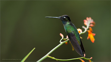 Photo: Magnificent Hummingbird RJB Colours of Costa Rica Tour Nikon D800 ,Nikkor 200-400mm f/4G ED-IF AF-S VR 1/400s f/4.0 at 330.0mm iso320  +Birds GALLERY  #birdsgallery  +Heinrich Wagner +BIRD LOVERS Worldwide  #birdloversworldwide  +Robert SKREINER +Birds4All  #birds4all  +Walter Soestbergen +Ricky L Jones +HQSP Birds  #hqspbirds  +Marina Versaci +Joe Urbz  #birdphotography   #naturephotography   #wildlifewednesday   #wildlifephotography