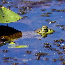 enjoying some shade by Jeff Sluder - Animals Amphibians ( muscatatuck, bullfrog )