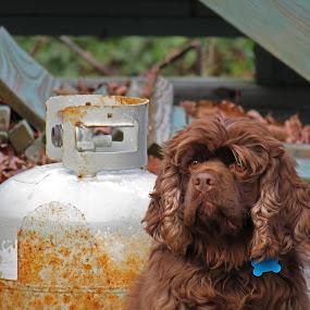 Gazing Off by Bryant Mountjoy - Animals - Dogs Portraits