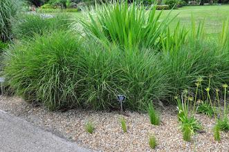 Photo: Miscanthus sinensis RHS gardens Wisley