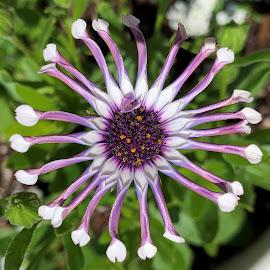 Osteospermum by Carol Leynard - Instagram & Mobile iPhone ( african daisy, daisybush, osteospermum, flowering plant )