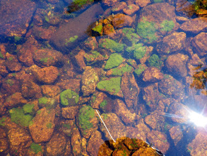 Photo: Fresh water sponge is common on rocks in the shallow waters around the lake. July 22