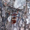 Cerambycidae Beatle