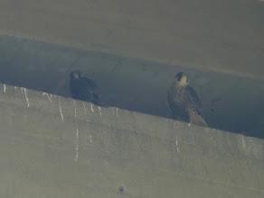 Photo: Peregrine Falcon nestlings