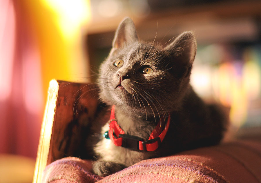 Milica 2 by Jelena Seničić Vilimanović - Animals - Cats Kittens ( russian blue, kitten, cat, sweet, gray, cute )
