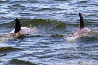 Photo: Atlantic Bottlenose Dolphins in Taylor's Creek