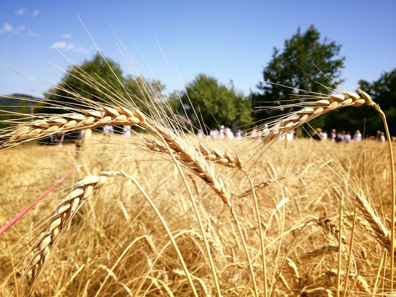 Antica coltura: il grano di Principino766