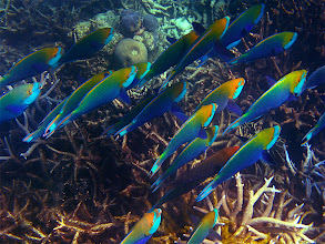 Photo: school of parrotfish