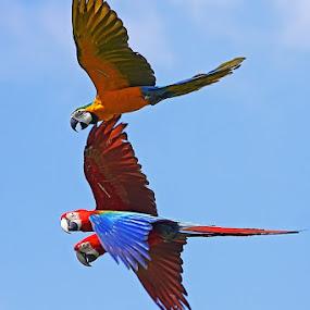 FLYING TOGETHER #3 by Ian Sumatika - Animals Birds