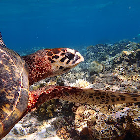 Turtle In Motion by Geoffrey Wols - Animals Sea Creatures ( water, coral, underwater, indonesia, gili meno, turtle, swimming,  )