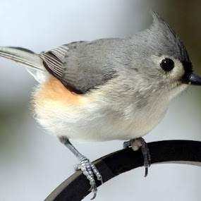 Three Toe by Leslie Hendrickson - Animals Birds ( bird, missouri, nature, wildlife, titmouse, birds, closeup,  )