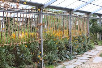 Photo: 拍攝地點: 梅峰-溫帶花卉區 拍攝植物: 芳香萬壽菊 拍攝日期: 2014_12_17_FY