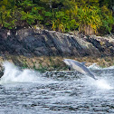 Common bottlenose dolphin (airborne sequence)