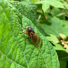 Cassin's periodical cicada