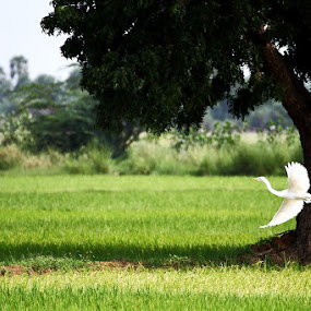 I wanna Fly by Vamsi Korabathina - Landscapes Prairies, Meadows & Fields ( bird, nature, afternoon, beautiful, landscape, birds, fields )