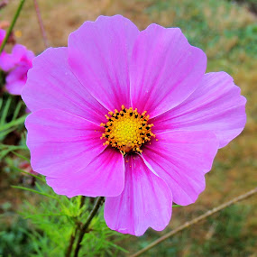 Pink Cosmos by Becky Luschei - Flowers Single Flower ( grace, gardens, pink, favorites, flowers, domestic, comos )