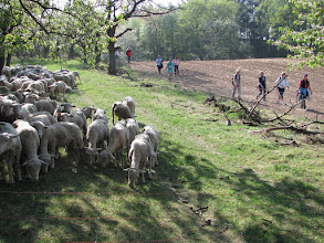 Photo: Weg um eine Schafherde herum
