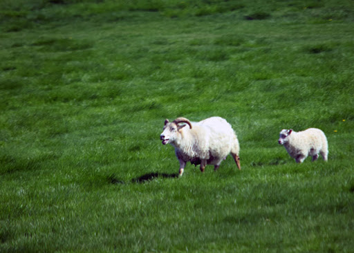 Akureyri-Iceland-sheep-1.jpg - Big horn sheep in a pasture in Iceland.