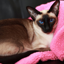 Seal Point Siamese  by Deb Thomas - Animals - Cats Portraits ( cats, blue eyes, siamese, seal point )