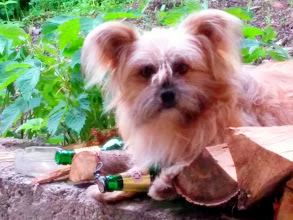 Photo: Our little dog - Moshu. The beer is in safe 'hands'.