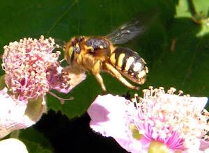 Photo: ANTHIDIE MANICATUM en vol, passant d'une fleur de ronce à une autre.