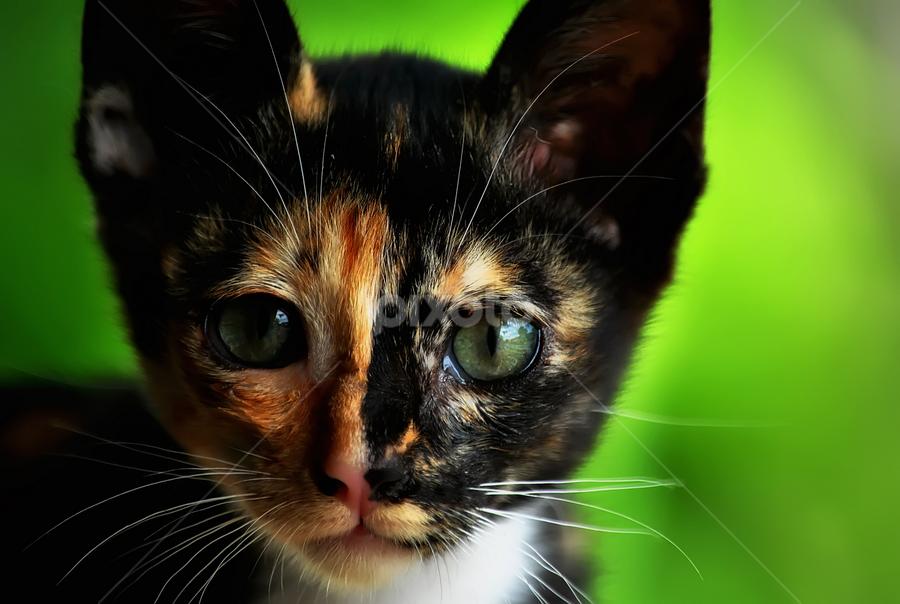 Portrait of Cat by Hafiz Ursa - Animals - Cats Portraits